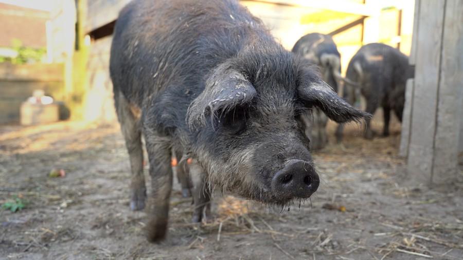 Diese Stadtschweine wohnen auf dem Quartierhof Wynegg.
